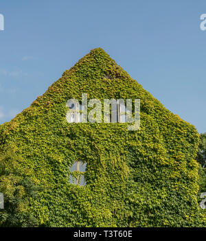 Old house completely covered in  lush green ivy in central Visby, Gotland, Sweden, Scandinavia - Stock Photo