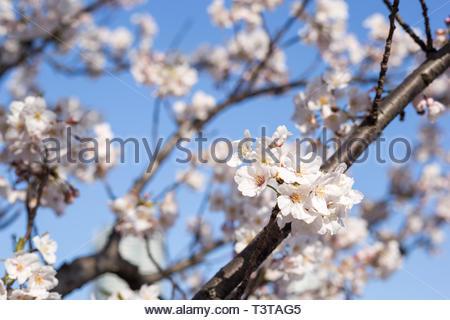 Kachidoki, Tokyo, Japan, 04/06/2019 , Cherry trees flowers on the riverside in front of Harumi triton square. - Stock Photo