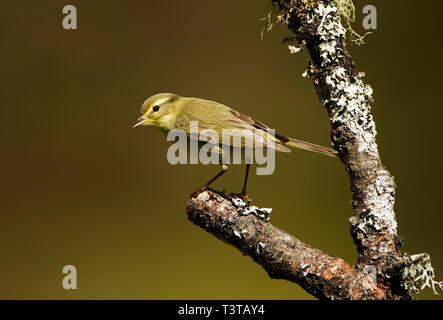 Wood Warbler on lichen covered branch in the Cairngorm National Park Scotland - Stock Photo