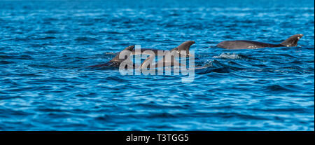 A pod of Bottlenose Dolphins (Tursiops truncatus) off the coast of Baja California, Mexico. - Stock Photo