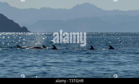 A pod of Bottlenose Dolphins (Tursiops truncatus) off the coast of Baja California, Mexico. - Stock Photo