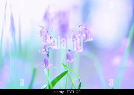 Beauty in nature.Springtime freshness.Bluebells flowers blooming in british woodland.Beautiful wildflowers on forest floor.Bright, vibrant stock photo. - Stock Photo