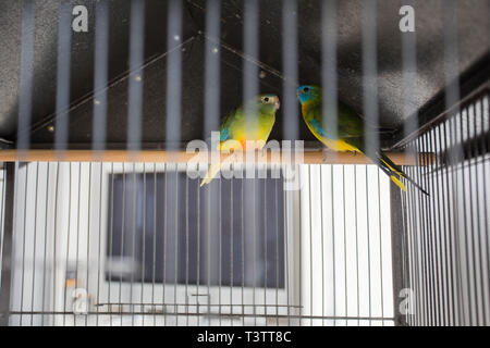 Two Parrots In The Cage, colorful love birds, pets - Stock Photo