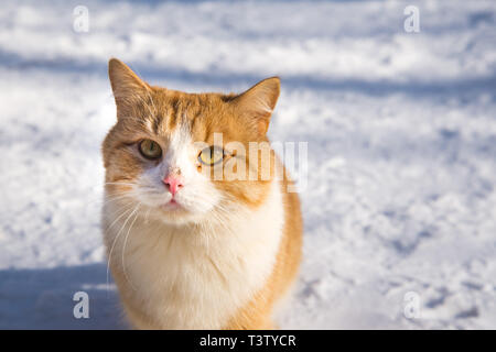 Cat portrait. Beautiful ginger cat in the snow in nature. copy space - Stock Photo