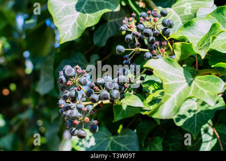 Ivy, Hedera helix is an evergreen climbing plant growing high where suitable surfaces (trees, cliffs, walls) are available - Stock Photo