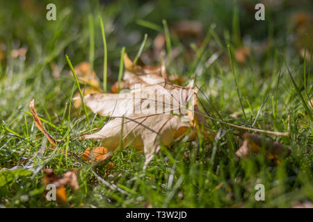 SAINT PETERSBURG, RUSSIA -SEPTEMBER 24, 2017 Autumn leaf in the grass - Stock Photo