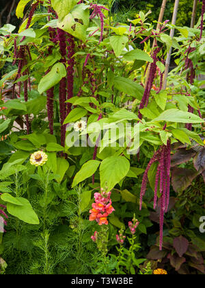 Love-lies-bleeding (Amaranthus caudatus) and antirrhinum / snap dragon - Stock Photo