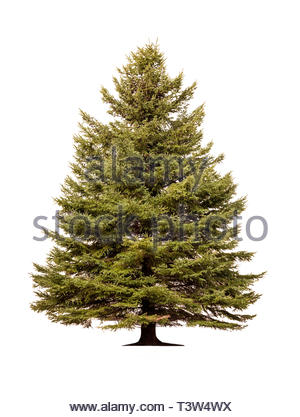 Norway spruce Picea abies European spruce tree on white background - Stock Photo
