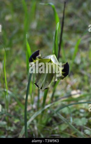 Close-up of a Beautiful Snake's-head, Widow Iris, Iris Tuberosa, Nature, Macro - Stock Photo