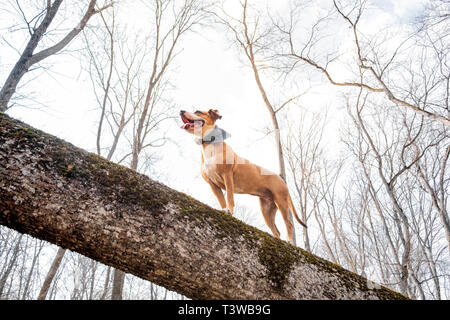 Adventure dog in the forest. Happy staffordshire terrier climbs a log in the woods and enjoys healthy active life, hero shot view - Stock Photo