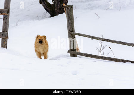 Pekingese is a lovely cute dog standing on a snowy snow near the fence - Stock Photo