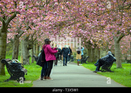 London, UK. 12th Apr, 2019. Cherry Blossom in full bloom in Greenwich Park South London after two days of bright Spring sunshine. Weather forecasters however are predicting below the seasons average temperatures for April across the country for the upcoming weekend. Before milder weather pushes across the country in time for Easter. 12th April 2019 Credit: MARTIN DALTON/Alamy Live News - Stock Photo