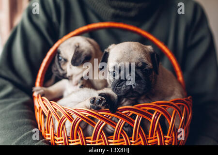 Young man holding basket with pug dog puppies. Little puppies having fun. Master breeding dogs - Stock Photo