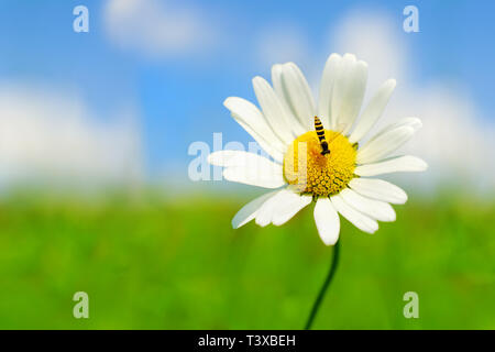 Beautiful camomile on green field with blue sky and clouds in background - Stock Photo