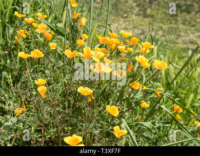 Beautiful wild flowers - a part of the superbloom phenomena in the Walker Canyon mountain range near Lake Elsinore, Southern California - Stock Photo