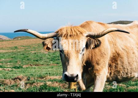 Cow in a pasture near the coast against sky, Asturias, Spain - Stock Photo