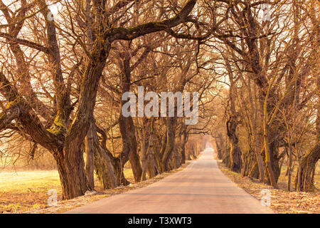 Poplar alley in spring. Majestic tree alley with old trees. Road running through Tunnel of Trees - Stock Photo