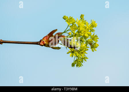 Young maple blossom on a twig in front of blue sky - Stock Photo