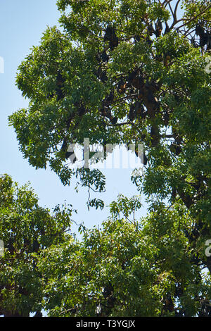 A massive colony of large Lyle's Flying Fox (Pteropus lylei) bats roost in the trees near Wat Phnom in Phnom Penh, Cambodia. - Stock Photo