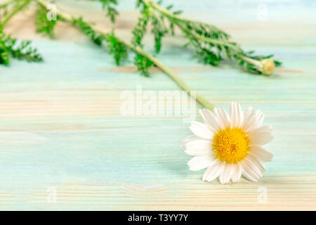 A photo of a daisy flower on a teal blue background with copy space, a summer banner - Stock Photo