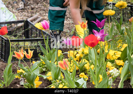 Colorful spring garden with different flowers and a maintenance worker removing the weed in the blurry background - Stock Photo