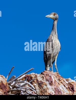 Immature Yellow-crowned Night-Heron (Nyctanassa violacea) on the rocky shore of Baja California, Mexico. - Stock Photo