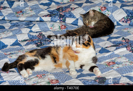 Two old cats on a bed, a brown tabby and a calico, grooming themselves - Stock Photo