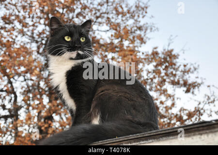 Handsome tuxedo cat sitting high up, looking to the right of the viewer, with an oak tree on the background - Stock Photo