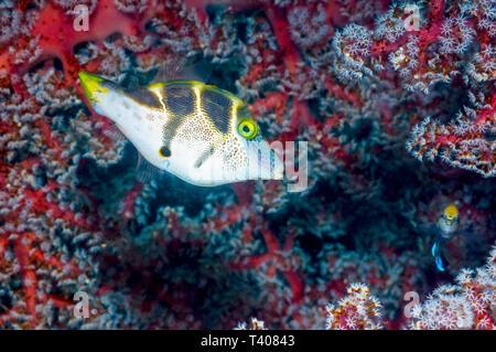 Mimic filefish [Paraluteres prionurus].  Komodo National Park, Indonesia.