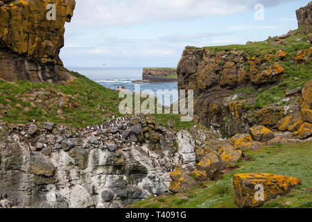 Nesting colony of Common guillemot Uria aalge and Atlantic puffin Fratercula arctica Lunga Island Inner Hebrides Argyll and Bute Scotland UK 2014 - Stock Photo