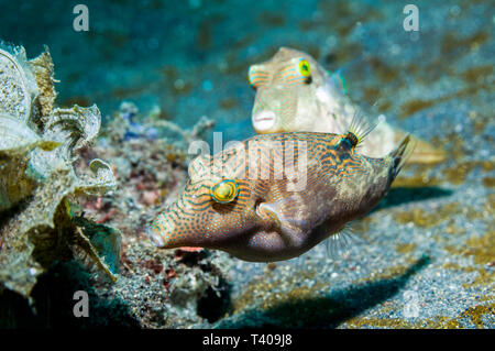 Bennett's toby or pufferfish [Canthigaster bennetti] pair.  Lembeh, Sulawesi, Indonesia.