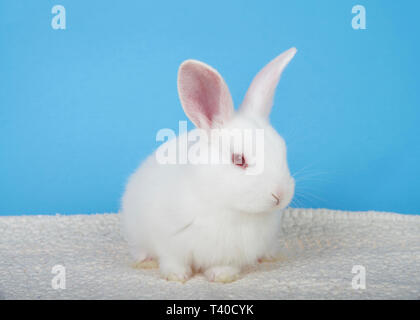 Adorable white albino baby bunny crouched down on sheepskin blanket with blue background looking to viewers right. An albino rabbit has a mutated gene - Stock Photo