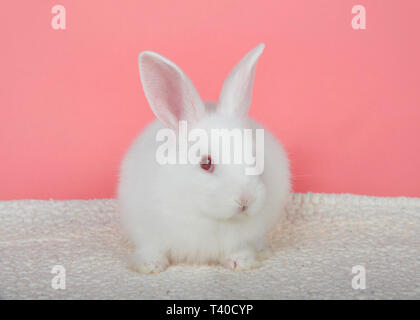 Adorable white albino baby bunny crouched down on sheepskin blanket with pink background looking to viewers right. An albino rabbit has a mutated gene - Stock Photo