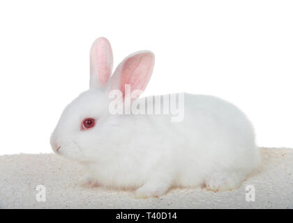 Adorable white albino baby bunny crouched down on sheepskin blanket isolated on white background, profile view entire body. - Stock Photo