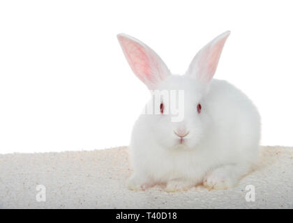 Adorable white albino baby bunny crouched down on sheepskin blanket isolated on white background looking directly at viewer. - Stock Photo