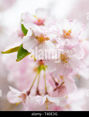 Cherry tree blossoms in spring - prunus rosaceae blossom close up -flowering trees blooming with pink and white flowers - cherry tree blossom close up - Stock Photo