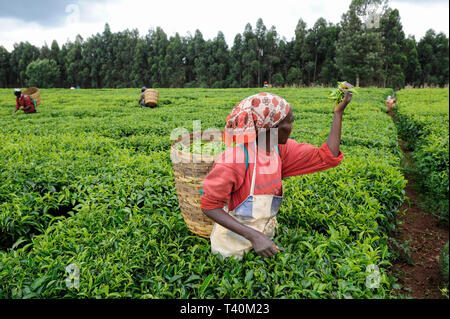 KENYA Limuru, Tigoni,  tea harvest, women pluck green tea leaves in tea garden, two leaves and a bud / KENIA, Tee Ernte, Frauen pfluecken die Teeblaet - Stock Photo