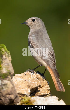 Black Redstart (Phoenicurus ochruros gibraltariensis), individual perched on a rock - Stock Photo