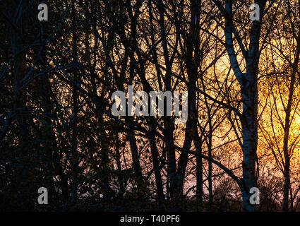 A Beautiful Red Sun Setting Behind Silver Birch Trees in a Garden in Alsager Cheshire England United Kingdom UK - Stock Photo