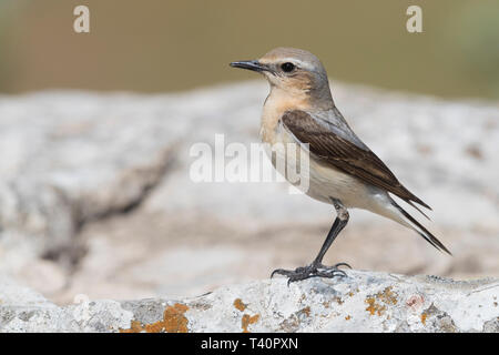 Northern Wheatear (Oenanthe oenanthe), side view of an adult female perched on a rock - Stock Photo