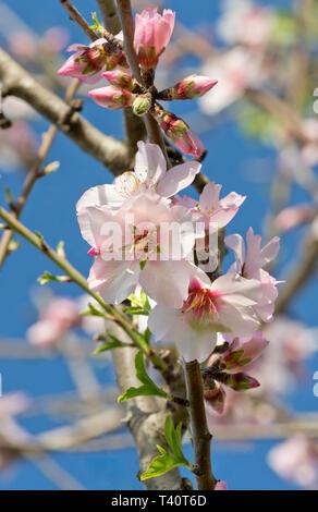 almond blossom in the Algarve, Portugal - Stock Photo