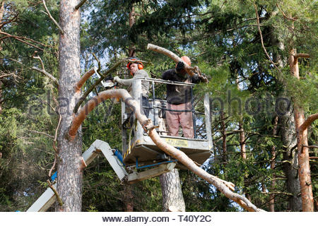 Two workers with a chainsaw trimming the tree branches on the high Hydraulic mobile platform and cut down a tree. - Stock Photo