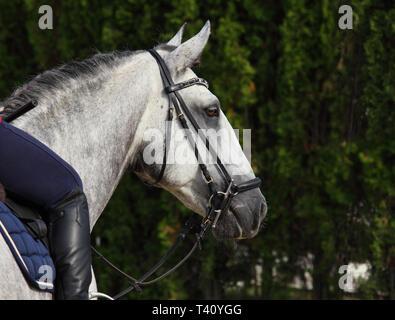 Grey dappled PRE horse summer dark woods portrait - Stock Photo