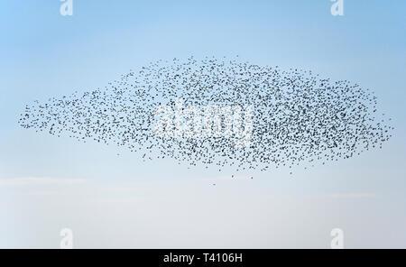 Murmuration of starlings. Half Moon Bay, Heysham, Lancashire, England, United Kingdom, Europe. - Stock Photo