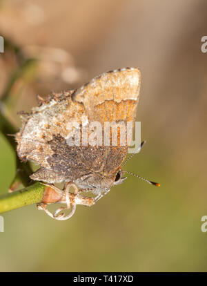 Tiny Henry's Elfin butterfly enjoying spring sun while resting on a briar vine - Stock Photo