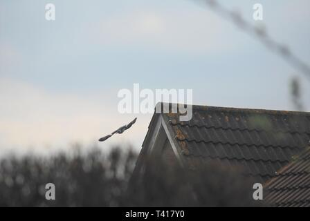 Pigeon flying off an urban roof. - Stock Photo