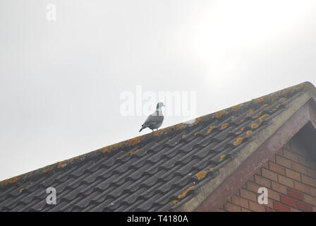 Pigeon perched on an urban roof in spring - Stock Photo