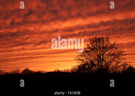 Mackerel sky at sunset; vibrantly colored undulating clouds silhouetted by trees - Stock Photo