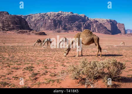 Herd of camels grazing in the desert, Wadi Rum, Jordan - Stock Photo