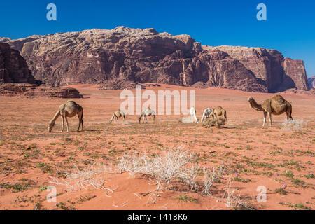 Herd of camels grazing in the desert, Wadi Rum, Jordan Stock Photo